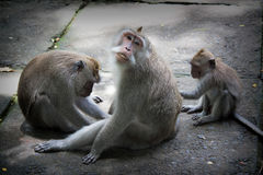 Monkey Forest Bali. Sacred monkey forest sanctuary, Padangtegal, Ubud - Bali.Ubud Monkey Forest is a small rain forest dwelt by some group of monkeys and other Royalty Free Stock Image