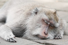 Monkey Forest Bali. Sacred monkey forest sanctuary, Padangtegal, Ubud - Bali.Ubud Monkey Forest is a small rain forest dwelt by some group of monkeys and other Stock Image