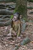 Monkey in the forest Royalty Free Stock Photography