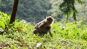 Monkey in the forest. Cute Monkey family in the indonesian forest stock images