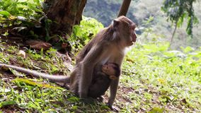 Monkey in the forest. Cute Monkey family in the indonesian forest royalty free stock photography