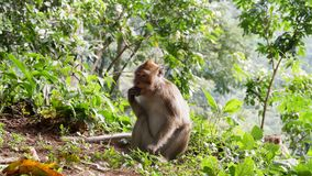 Monkey in the forest. Cute Monkey family in the indonesian forest stock photos