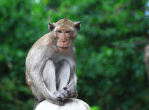 Monkey in the forest Royalty Free Stock Photo