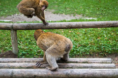 Monkey forest - Fighting royalty free stock photo