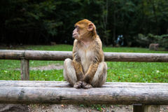 Monkey forest - Grinning Stock Photography