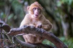 Monkey forest - Grinning infant Royalty Free Stock Image