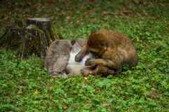 Monkey forest - Grooming Stock Image