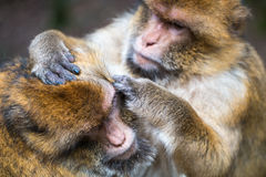 Monkey forest - Hard grooming royalty free stock photography