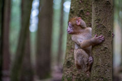 Monkey forest - Infant climbing tree stock photos