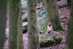 Monkey forest - Infant monkey in the forest royalty free stock photography