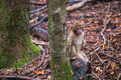 Monkey forest - Infant sitting next to tree Royalty Free Stock Photo