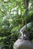 Monkey forest macaque ubud bali Stock Image