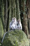 Monkey forest macaque ubud bali Stock Image