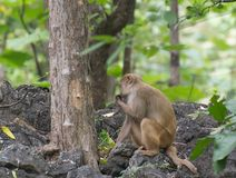 Monkey in the forest. Monkeys Rhesus Macaque Feeding in a forest of Central India near rDewas Madhya Pradesh stock photo