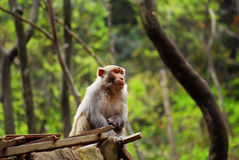Monkey in forest. A monkey in a forest in a moutain Stock Photo