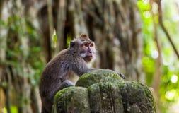 Monkey in Forest Park in Ubud - Bali Indonesia Fotografie Stock