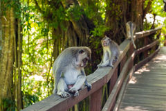 Monkey in forest park in Ubud - Bali Indonesia Royalty Free Stock Photo