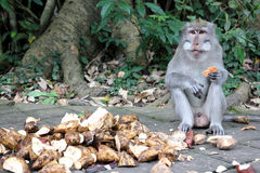 Monkey in the forest. Photo image monkey eating and tree Stock Images