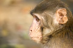 A Monkey in the Forest stock image