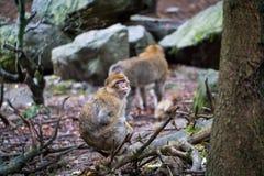 Monkey forest - Sitting around royalty free stock photo
