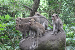 Monkey forest in Ubud Stock Images