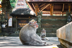 Monkey forest, Ubud, Bali, Indonesia Stock Images