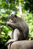 Monkey. Forest in Ubud, Indonesia, Bali Stock Photos