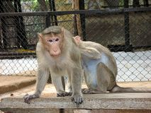 Monkey freedom. Close-up of a funny monkey in a zoo - india stock images