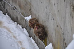 Monkey freezing in snow Royalty Free Stock Photography