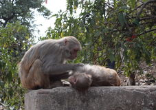 Monkey, friendship, nepal, kathmandu, tourism, animals,. Monkeys feel safe on the streets of Kathmandu Stock Photo