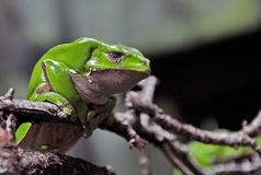 Monkey Frog. The Monkey Frogs are a group of species of tree frogs which are characterized by long limbs and a lack of webbing between their toes. This last Royalty Free Stock Photography