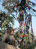 Monkey in front of flags, Nepal Stock Images