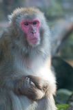 Monkey frown Royalty Free Stock Photo