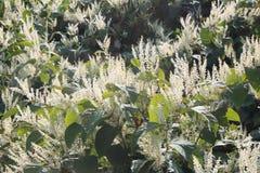Monkey fungus knotweed invasive species in autumn bloom. Horizontal aspect Stock Photography
