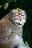 Monkey With Funny Face. The closeup of monkey with funny face Stock Images
