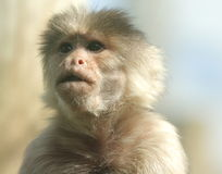 Monkey. Furry monkey with blurry background Stock Image