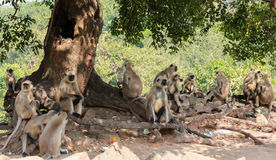 Monkey gang. A monkey family taking rest under a tree Royalty Free Stock Image