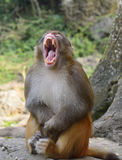 Monkey Gave a Big Yawn Royalty Free Stock Images