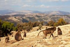 Monkey Gelada royalty free stock image