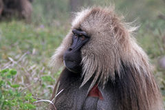 Monkey , the gelada Royalty Free Stock Image