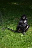 Monkey - Geoffroys spider monkey (Ateles geoffroyi. Geoffroys spider monkey (black-handed spider monkey) with baby in the Prague ZOO Stock Photos