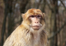 Monkey. In the German Ecopark Affenberg on lake Constance Royalty Free Stock Photography