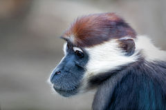 Monkey Gesicht Stockbilder