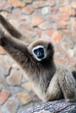Monkey - gibbon Royalty Free Stock Photos