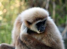 Monkey - gibbon Royalty Free Stock Photography