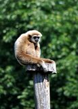 Monkey - gibbon Royalty Free Stock Photography