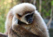 Monkey - Gibbon Royalty Free Stock Image