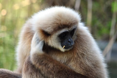 Monkey - Gibbon Stock Images