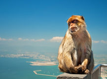 Monkey in Gibraltar Stock Photo
