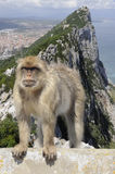 A monkey in Gibraltar royalty free stock photography